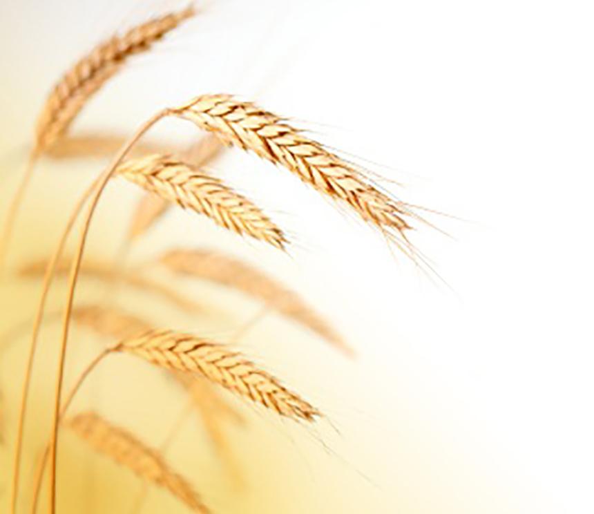 636700906161336173wheat.jpg