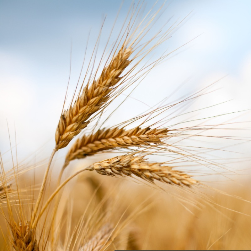 Global food prices dip in August: Sharp falls in cereals and