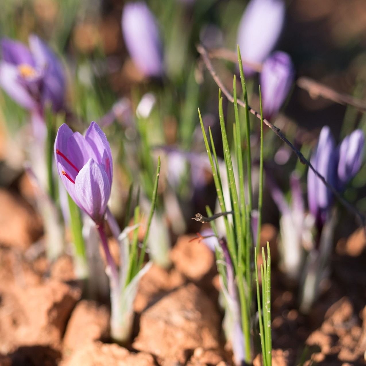 Worth Its Weight In Gold Pharmactive Biotech Launches Affron Saffron In Apac Market