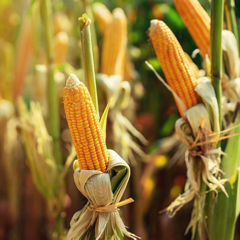 Pipeline Foods purchases Organic Ventures' ancient grains