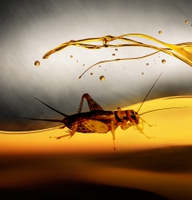 Researchers Look to Exploit Insect Oil and Protein