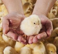 636661187606125782baby-chicks-164669011_6048x4032.jpg