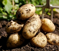 636723408593635168vegetables potato farm.jpg